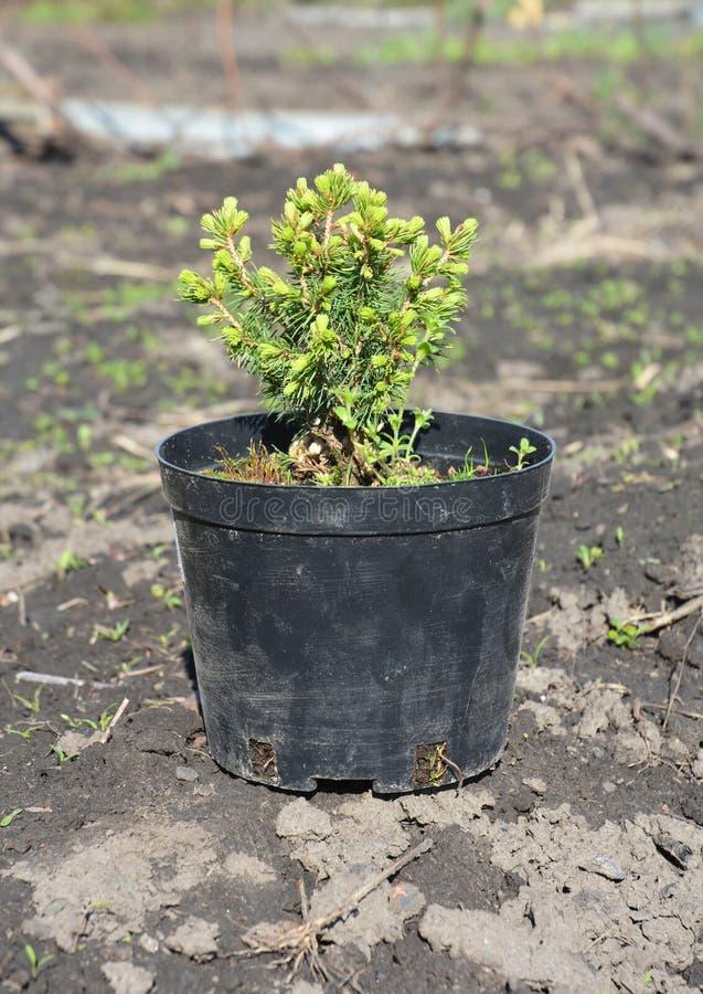 Pflanzen des gezierten Baumschößlings Verpflanzen Sie Picea glauca Regenbogen ` s Ende mit Wurzeln im Topf lizenzfreies stockfoto