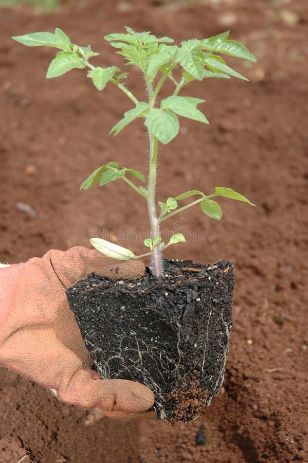 Pflanzen eines Sämlings lizenzfreies stockbild