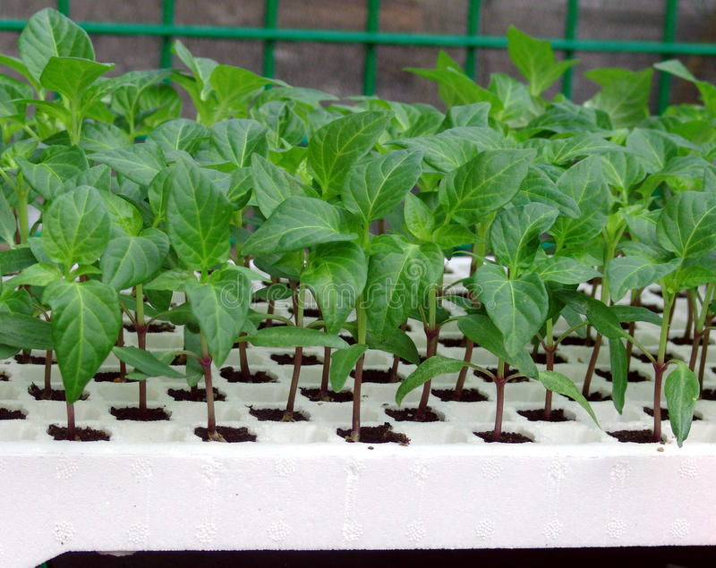 Pflanzen Sie Sämlingpfeffer lizenzfreie stockfotos