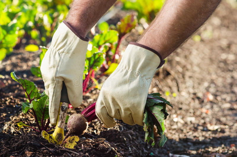 Pflanzen und Ernten an einem Biohof lizenzfreies stockbild