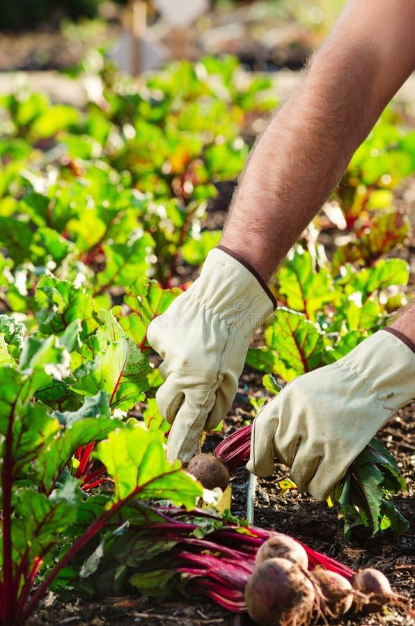 Pflanzen und Ernten an einem Biohof stockfotos