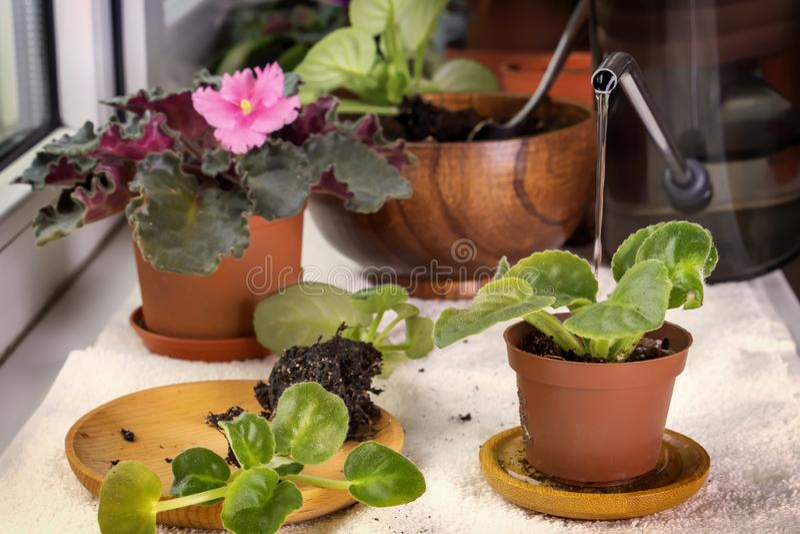 Pflanzen von Babyveilchen Saintpaulias in einem Blumentopf Nahaufnahme stockfotografie