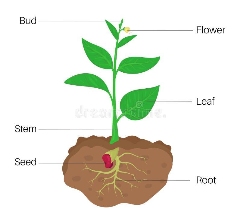 Pflanzenteile Diagramm stock abbildung