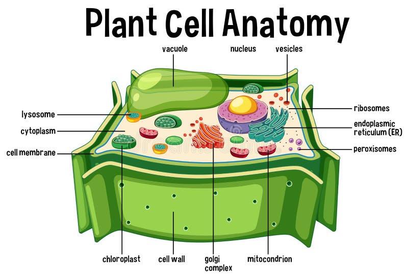 Pflanzenzelle-Anatomie-Diagramm stock abbildung