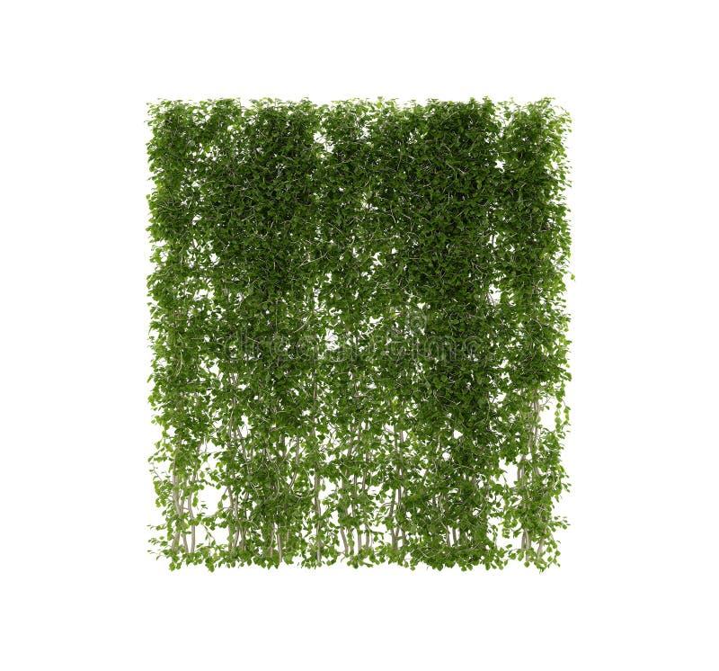 Pflanzt Efeu Reben auf Pfosten auf Weiß lizenzfreie stockfotos