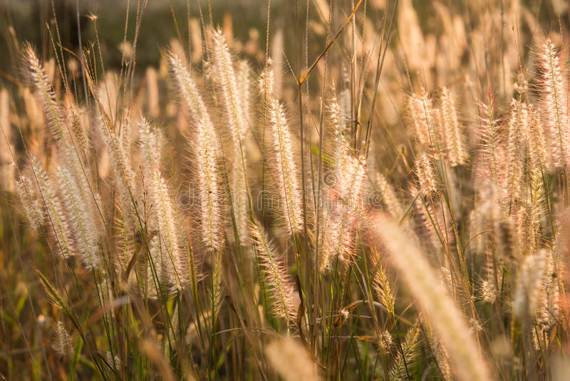 Pflanzt Rasenfläche bei Goldsonnenuntergang lizenzfreie stockfotografie
