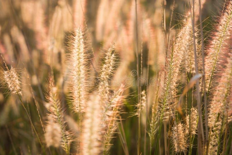 Pflanzt Rasenfläche bei Goldsonnenuntergang lizenzfreies stockfoto