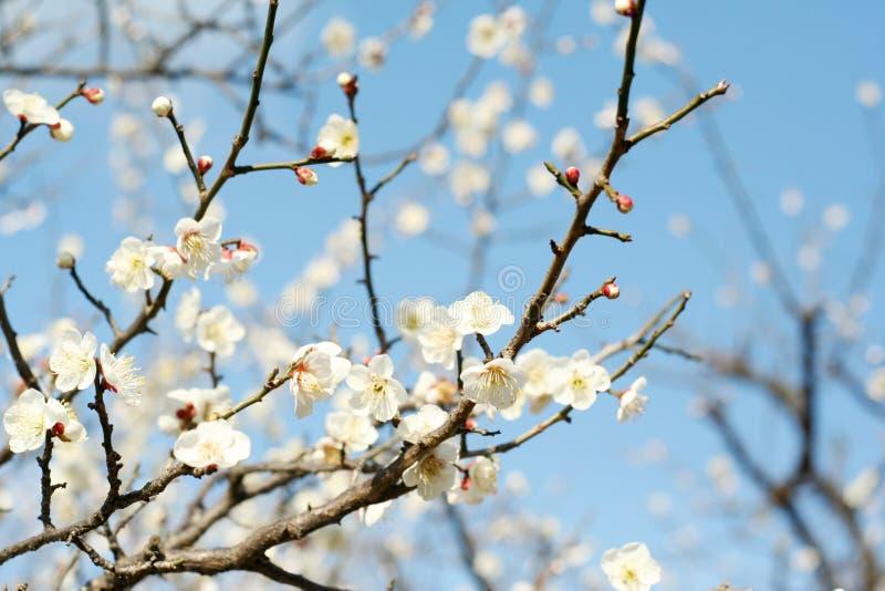 Pflaume-Baum lizenzfreies stockfoto