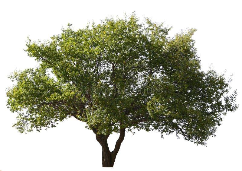 Pflaumebaum trennte stockbilder