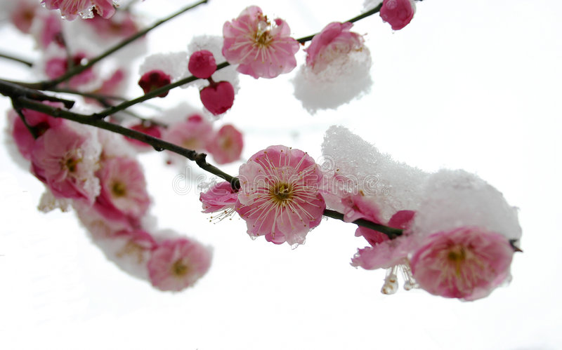 Pflaumeblüte stockbilder