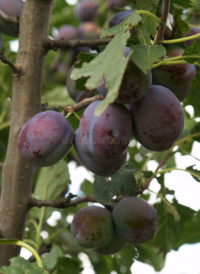 Pflaumen auf Baum stockfotografie