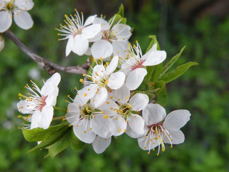 Pflaumenbaumblüte lizenzfreie stockfotografie