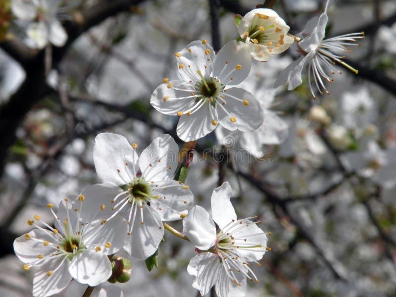 Pflaumenbaumblüte im Frühjahr, Litauen stockbild