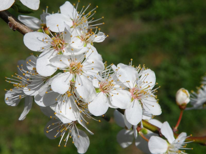 Pflaumenbaumblüte im Frühjahr, Litauen stockfotografie