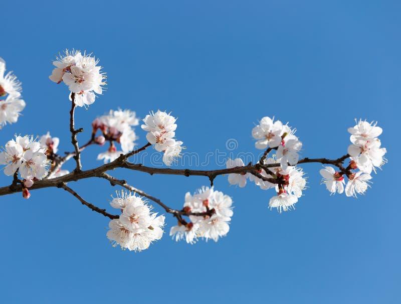 Pflaumenblüte über blauem Himmel lizenzfreies stockfoto