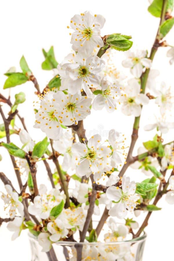 Pflaumenblüten auf Weiß, Frühlingshintergrund stockfotografie