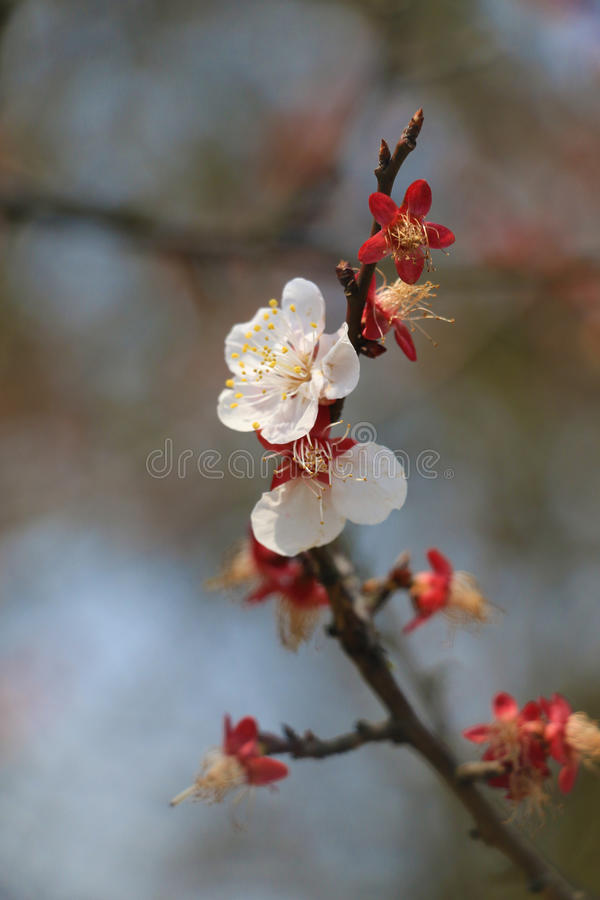 Pflaumenblume, Schönheit, Sun, Blume, natürlich lizenzfreie stockfotografie