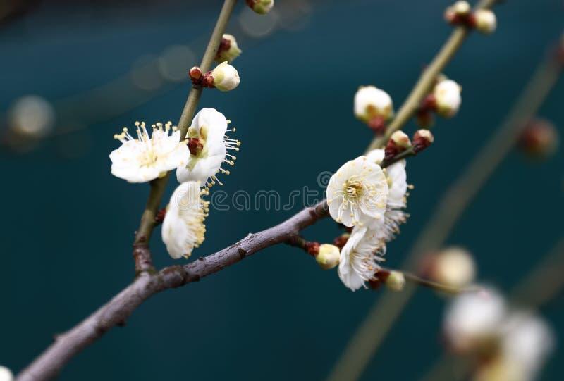 Pflaumezweig mit Blumen Hintergrund, lokalisiert Shanghai China stockbild