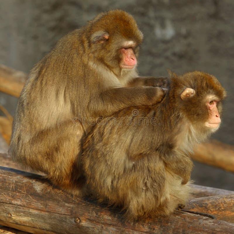 Download Pflegen stockbild. Bild von winter, pflegen, obacht, macaque - 1829303