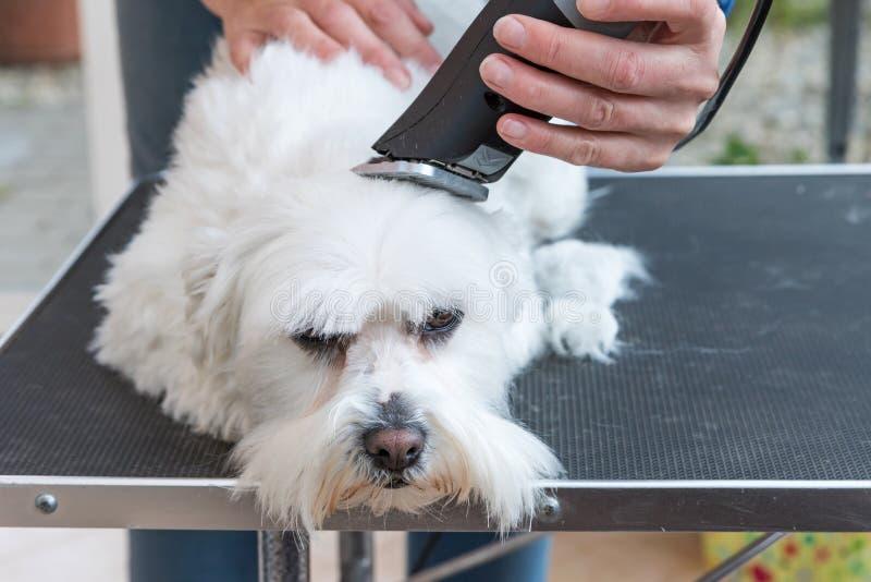 Download Pflegen Des Kopfes Des Weißen Hundes Stockbild - Bild: 71795421