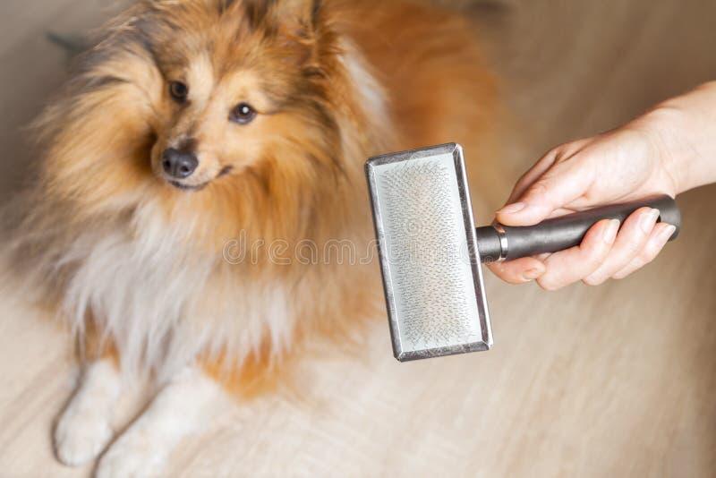 Download Pflegen Mit Einer Hundebürste Auf Einem Die Shetlandinseln-Schäferhund Stockbild - Bild: 71897257