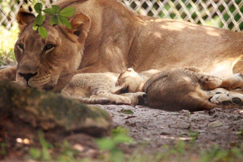 Pflegender weiblicher afrikanischer Löwin Panthera Löwe, der ihre jungen Jungen einzieht stockfoto