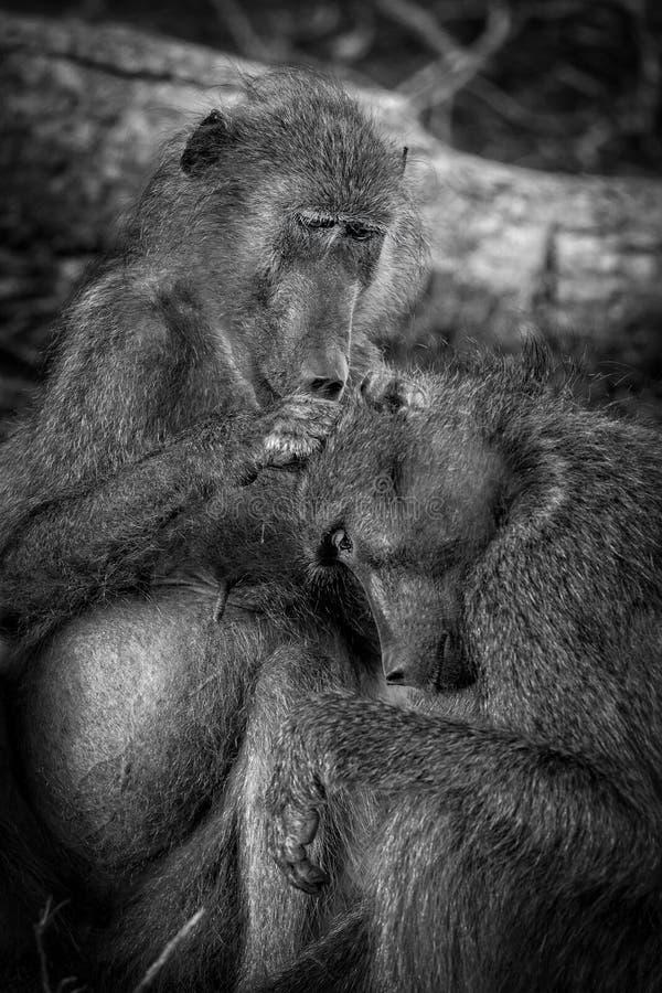 Pflegenpaviane, Nationalpark Kruger, Südafrika lizenzfreies stockfoto