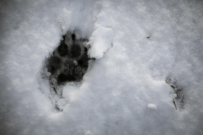 Paw print of a dog in the snow. Close up paw print of a dog in the snow royalty free stock images