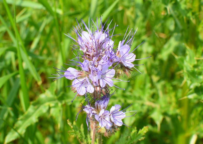 Phacelia congesta z b??kitnymi kwiatami obficie przynosi nektar fotografia stock