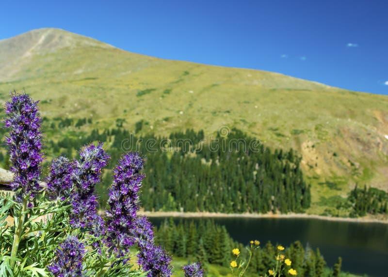 Phacelia Sericea Purple Fringe Flowers by a lake in the Colorado Rockies.  royalty free stock image