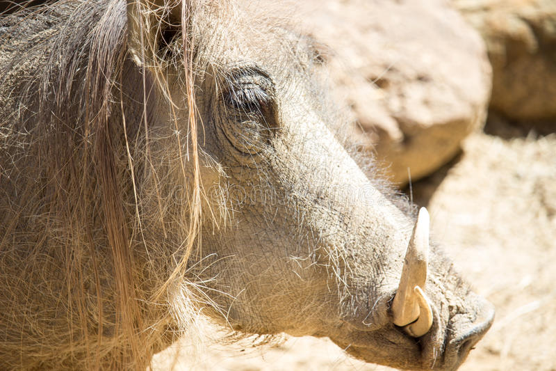 Phacochère africaine photos libres de droits