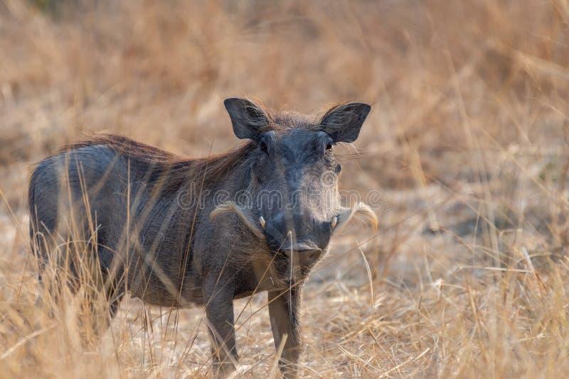Phacochère africaine sur la route poussiéreuse en Afrique en Namibie photographie stock libre de droits