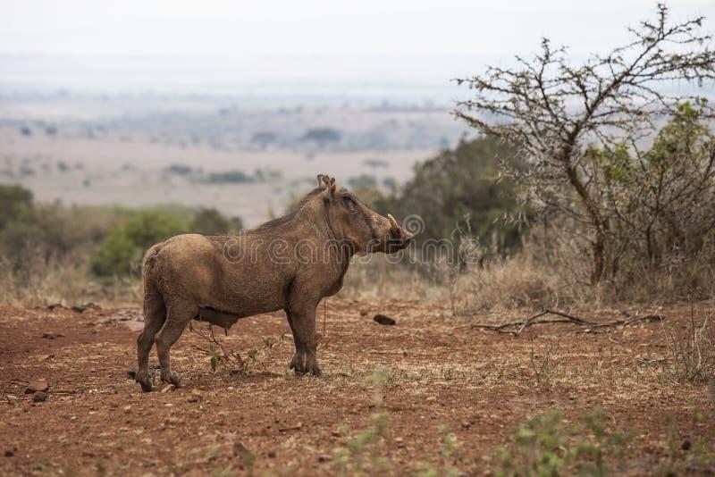 Phacochère au Kenya photo libre de droits