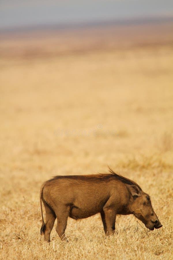 Phacochère dans le domaine africain photos libres de droits