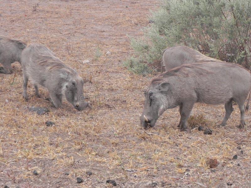 Phacochère Vlakvark mangeant la nature d'agenouillement photo stock