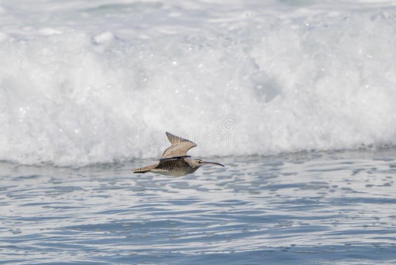 Phaeopus de Numenius de courlis corlieu volant bas au-dessus des ressacs photographie stock libre de droits