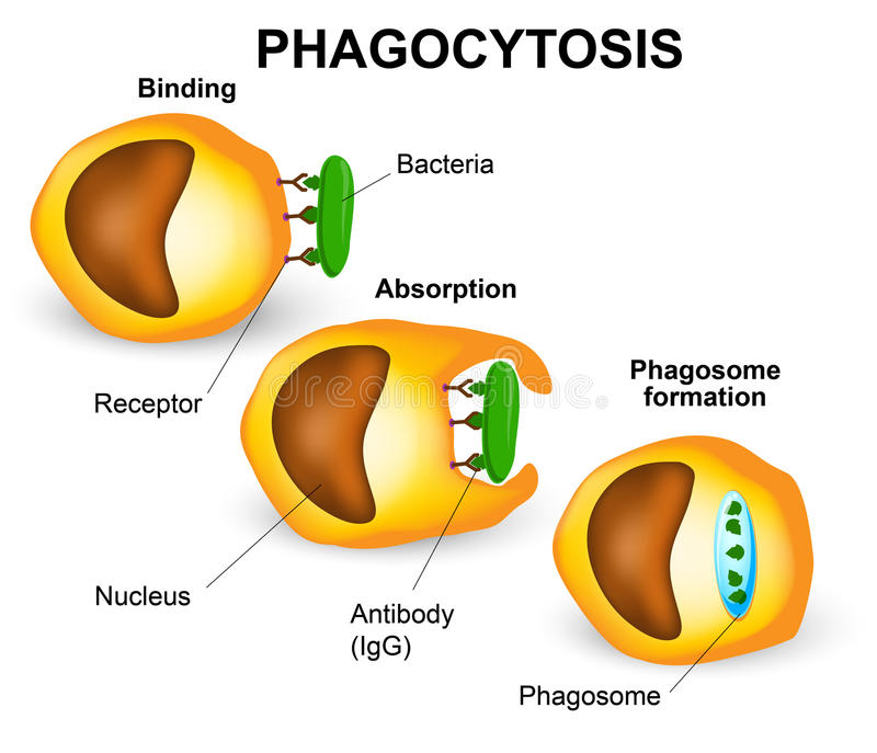 Phagocytose illustration de vecteur