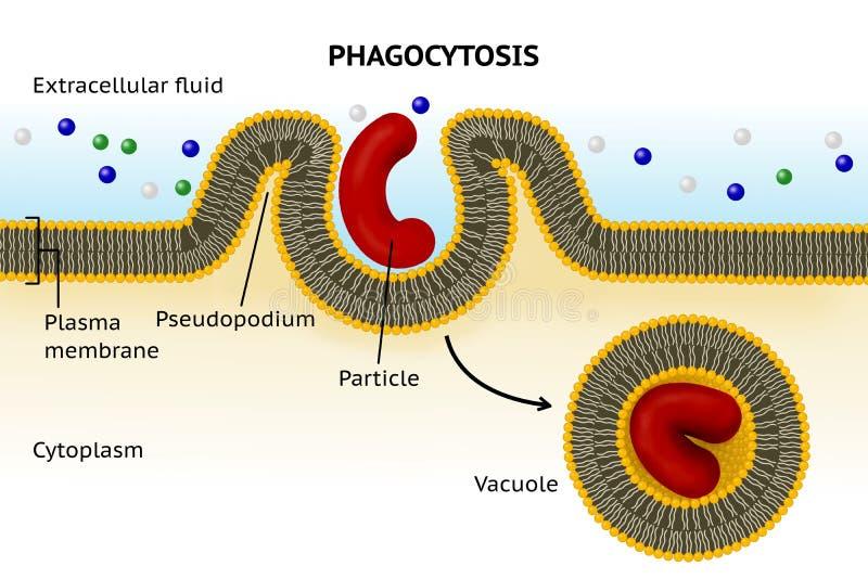 Phagocytose Transport de cellules illustration libre de droits