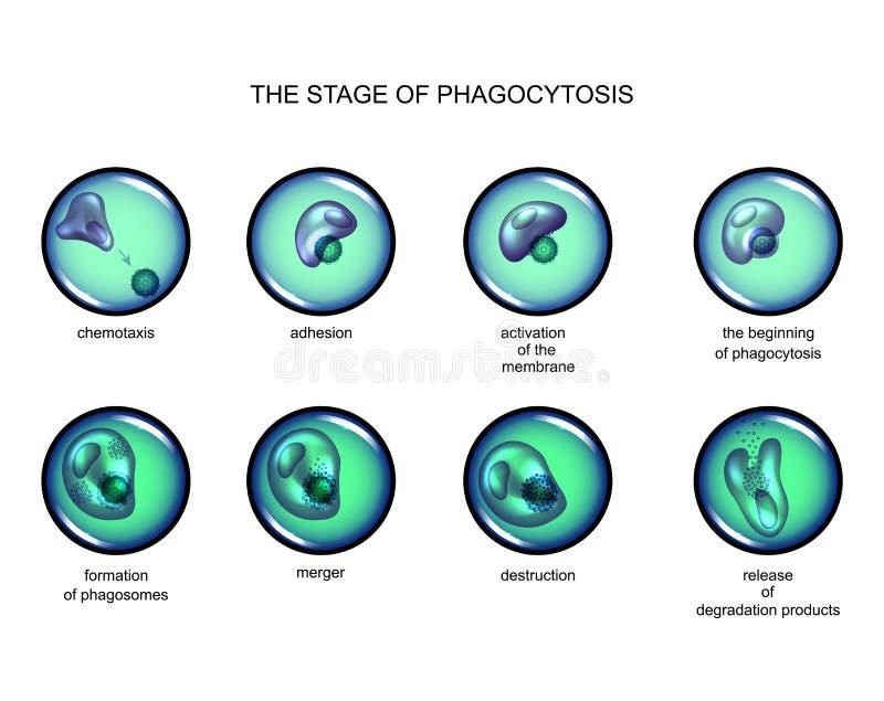 Phagocytosis stage. leukocyte vector illustration
