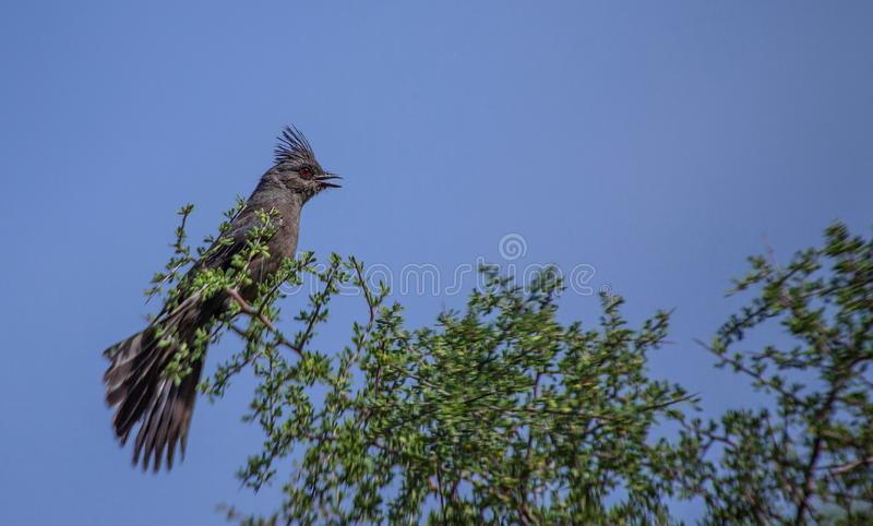 Phainopepla, nitens de Phainopepla, na árvore que fala, deserto do Arizona imagens de stock royalty free