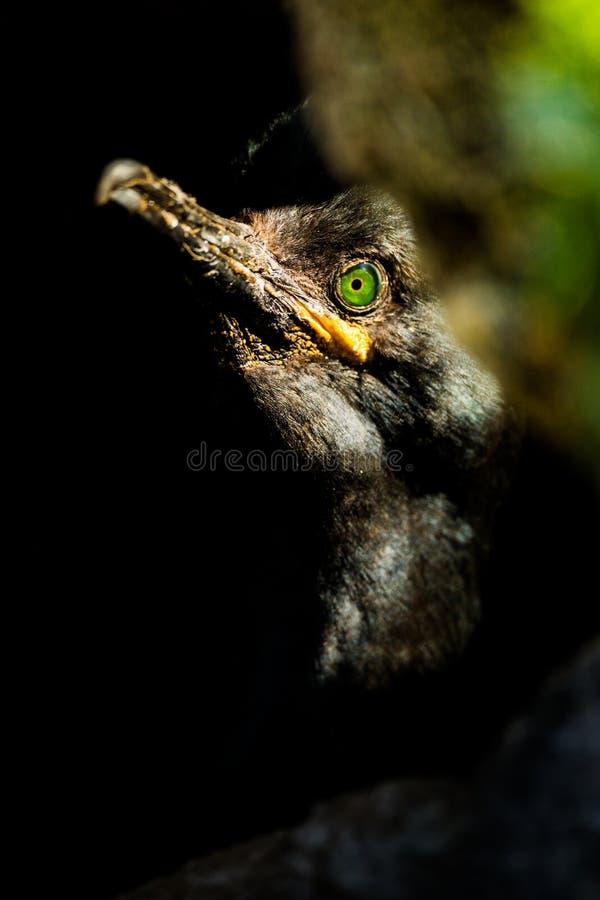 Phalacrocorax europeo Aristóteles Aristóteles de la pelusa de las FO del retrato Escena de la fauna de la isla Vardo fotografía de archivo libre de regalías