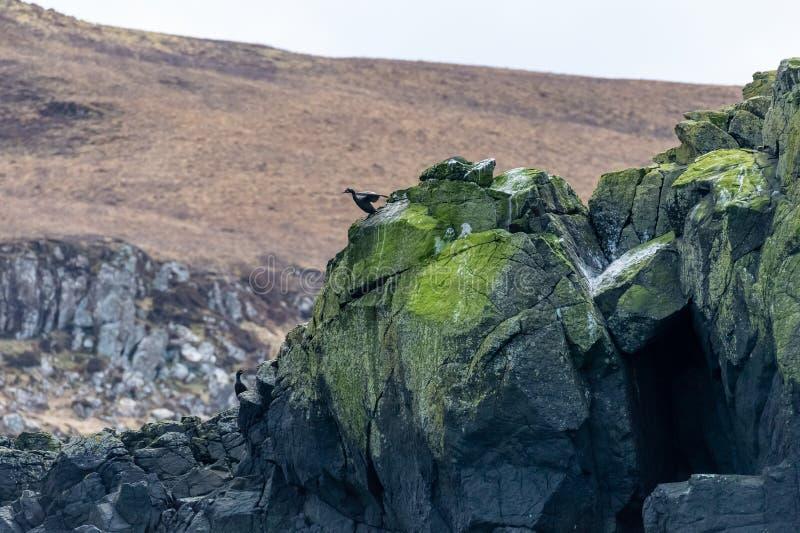 Phalacrocorax europeo Aristotelis su una roccia, isola del tessuto felpato del cielo immagini stock libere da diritti
