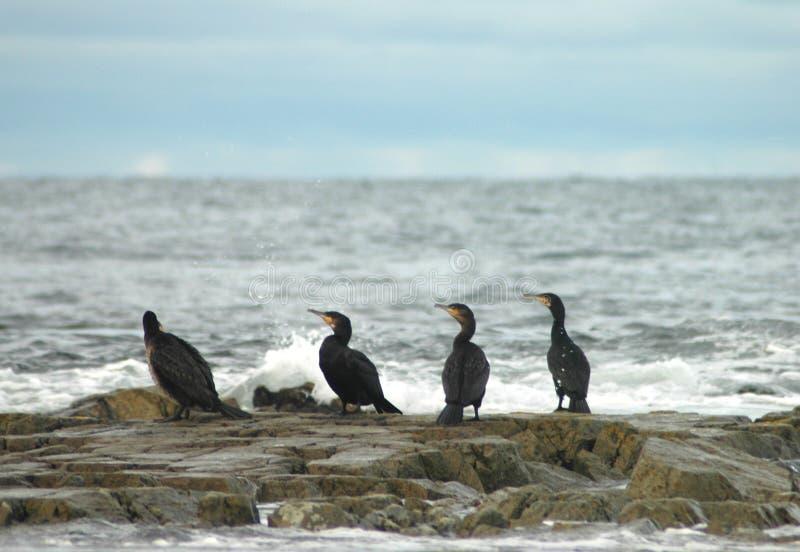 Phalacrocoraxcarbo för fyra kormoran arkivfoton
