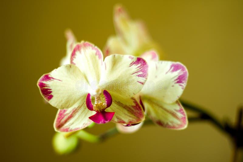 Phalaenopsis/ËŒblue/Blume 1825 som är bekant som malorkidér, förkortade Phal i trädgårds-handeln, [2] en orkidé arkivfoto