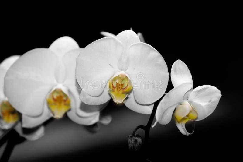 phalaenopsis орхидей стоковая фотография rf