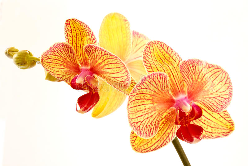 phalaenopsis royaltyfria foton
