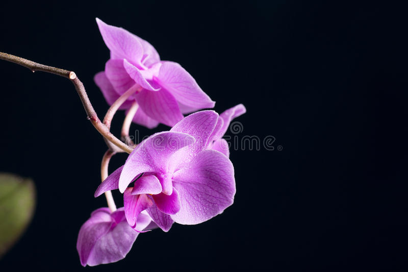 Download Phalaenopsis stock photo. Image of beauty, gift, flora - 32889428