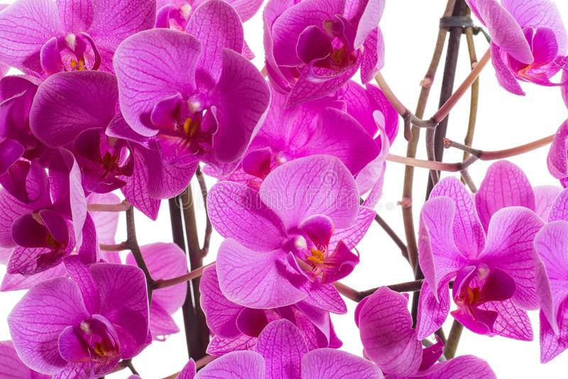 Download Phalaenopsis stock image. Image of flowers, holiday, green - 32889399