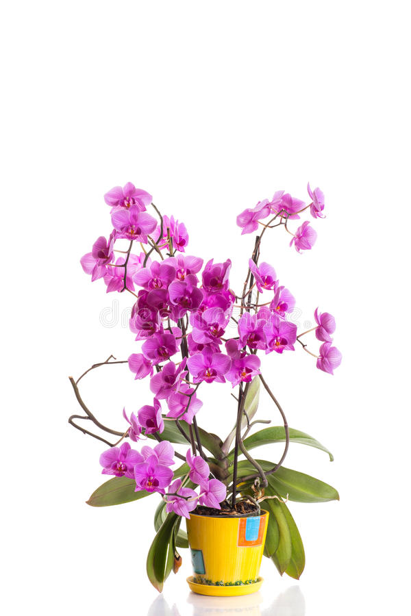 Download Phalaenopsis Royalty Free Stock Photo - Image: 32889405