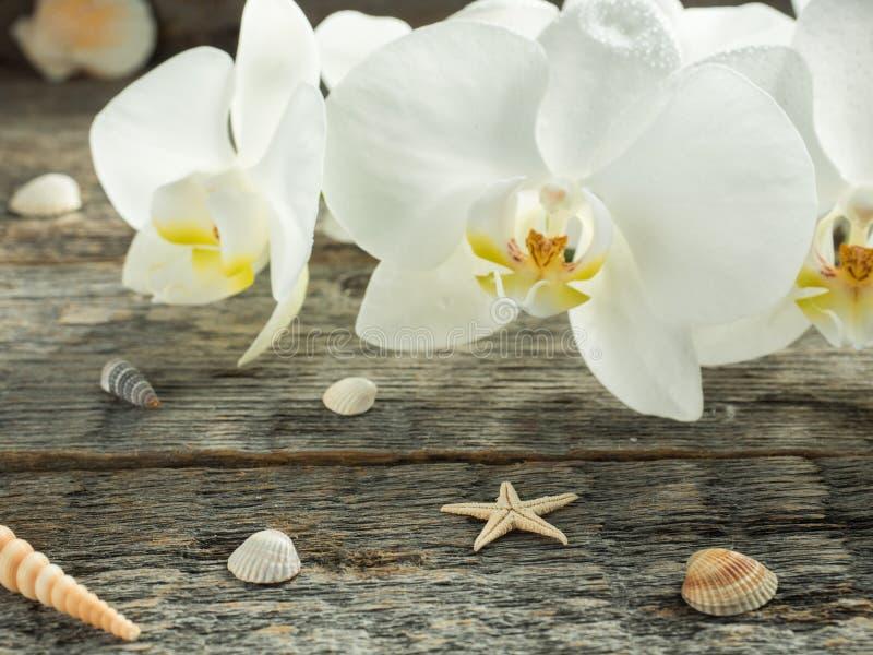 Phalaenopsis bianca dell'orchidea su una conchiglia di legno del fondo fotografia stock